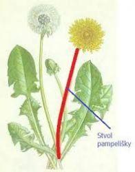 Sedmikráska bylinný sirup Pampeliška 500 ml Trávení, detoxikace, metabolismus, antioxidant, doplněk stravy Rodinná farma Sedmikráska