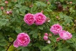 Sedmikráska bylinný sirup Růže 500 ml trávení a vylučování, imunita, volné radikály, srdečně-cévní systém, doplněk stravy Rodinná farma Sedmikráska
