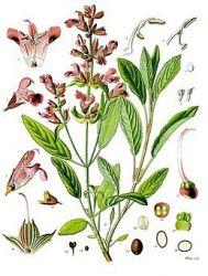 Sedmikráska bylinný sirup Šalvěj 500 ml hormonální rovnováha dýchání trávení antioxidant doplněk stravy Rodinná farma Sedmikráska