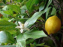 Sedmokráska ovocno - zeleninový sirup Citrón s uhorkou 500 ml