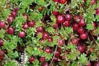 Sedmikráska ovocný sirup Brusinka - 500 ml dolněk stravy , Antioxidant , přirozená obranyschopnost Rodinná farma Sedmikráska