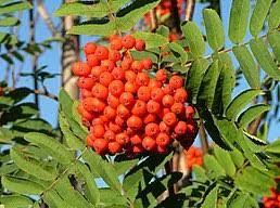 Sedmikráska ovocný sirup Jeřábina 500 ml *Při stresu a námaze* imunita*vitalita organismu*, doplněk stravy Rodinná farma Sedmikráska