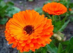 Sedmikráska bylinný extrakt Měsíček květ 250 ml NORMÁLNÍ FUNKCE JATER A STŘEV, DÝCHACÍHO SYSTÉMU a POKOŽKY Rodinná farma Sedmikráska