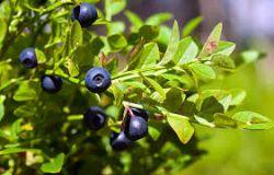 Ovocný džem od Sedmokrásky - Čučoriedka lesné jednodruhové ovocia, bez prídavkov jabĺk a pod., Pomer ovocie: cukor - 2: 1, s prídavkom vitamínu C.. 520 ml Rodinná farma Sedmikráska